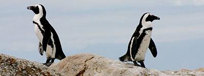 relatie pinguins 1 - Home